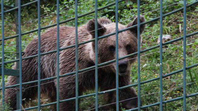 Un oso en Asturias.