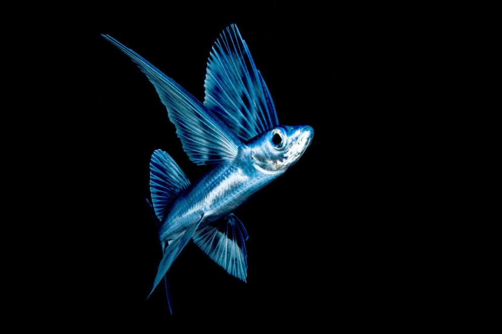 Un pez volador por la noche cerca de la superficie en el mar de los Sargazos.