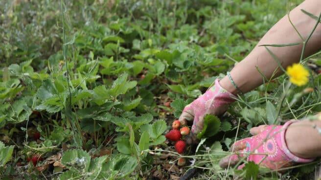 Una mujer recoge fresas en un huerto