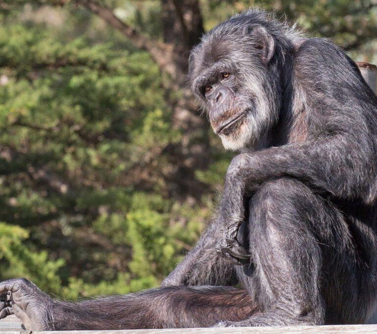 Muere a los 63 años Cobby, el chimpancé más anciano de EEUU