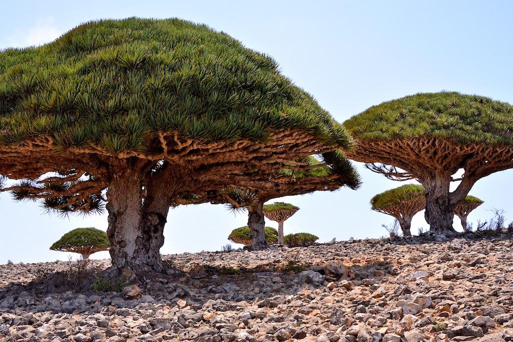 Dragos, uno de los árboles más singulares de Socotra. Rod Waddington