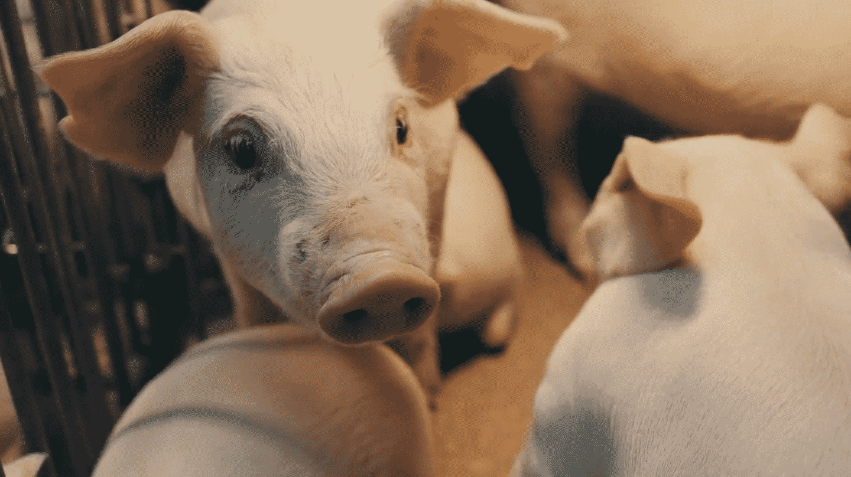 Innoporc, la granja familiar segoviana que invita a Garzón a trabajar con sus cerdos
