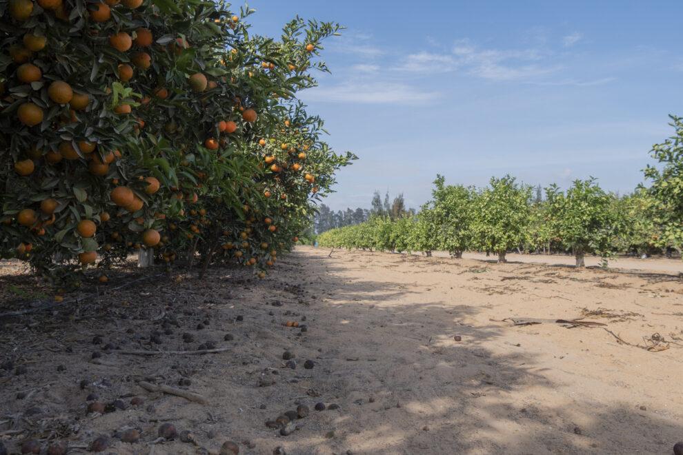 Campo de cítricos en el desierto que separa El Cairo de Alejandría