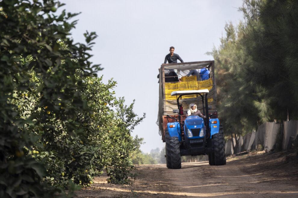 Jornaleros a bordo de un tractor en la recolección de cítricos al norte de El Cairo