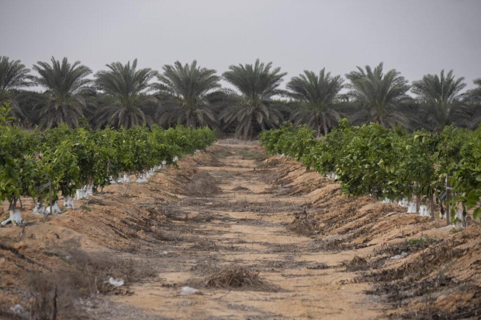 Plantaciones de cítricos en pleno desierto, en Egipto