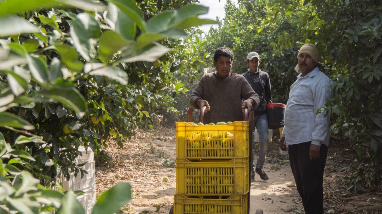 Trabajadores en la recolección de cítricos en el desierto egipcio