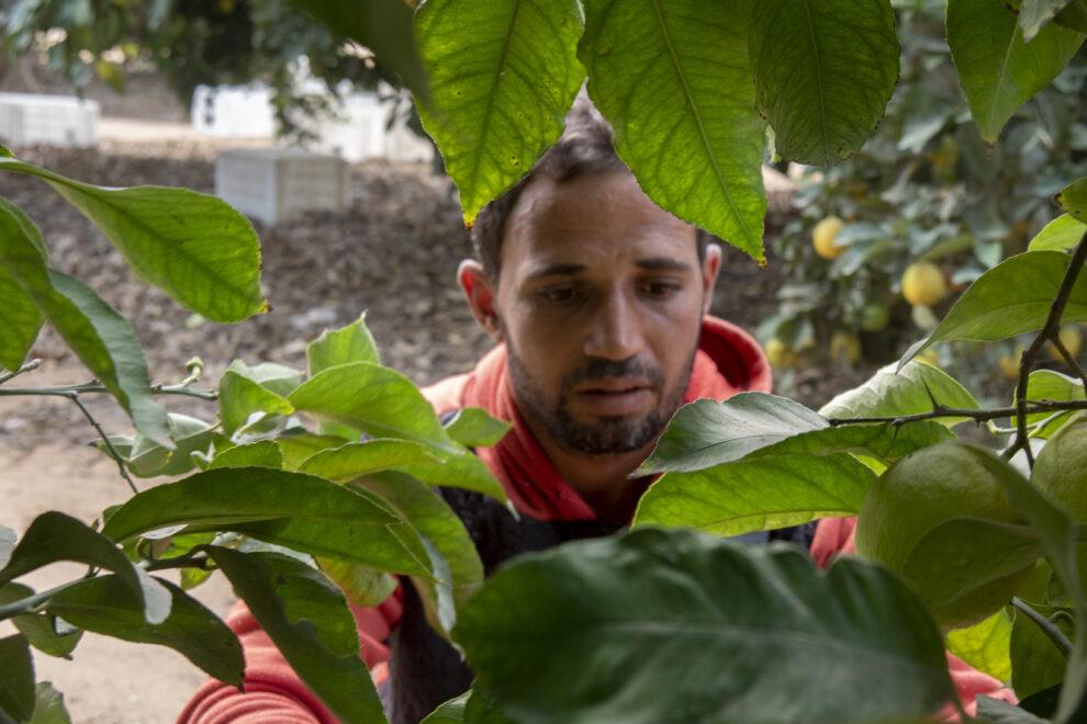 Un jornalero egipcio en la campaña de recolección del limón