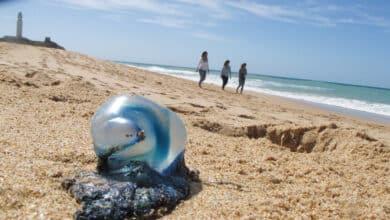 La llegada de medusas complica el baño en las playas de Málaga