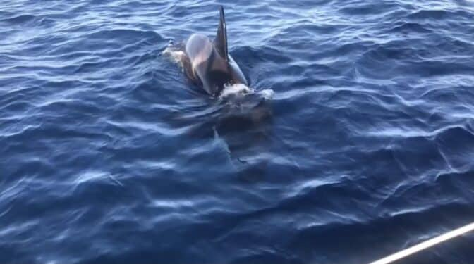 """Ataque en aguas de Barbate: """"Estuvimos rodeados de 15 orcas una hora"""""""