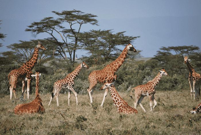 una manada de jirafas