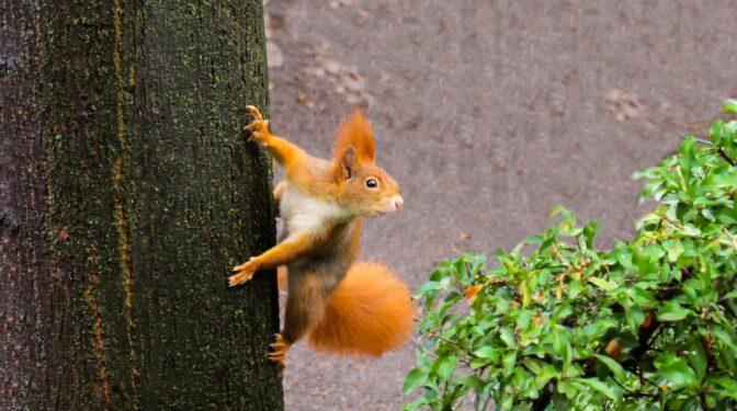 """Las ardillas """"hacen parkour"""" para saltar y no caerse de los árboles"""
