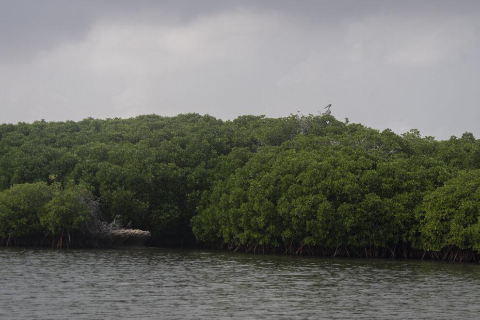 Manglares de la isla de Farasan, los mejor conservados del mar Rojo