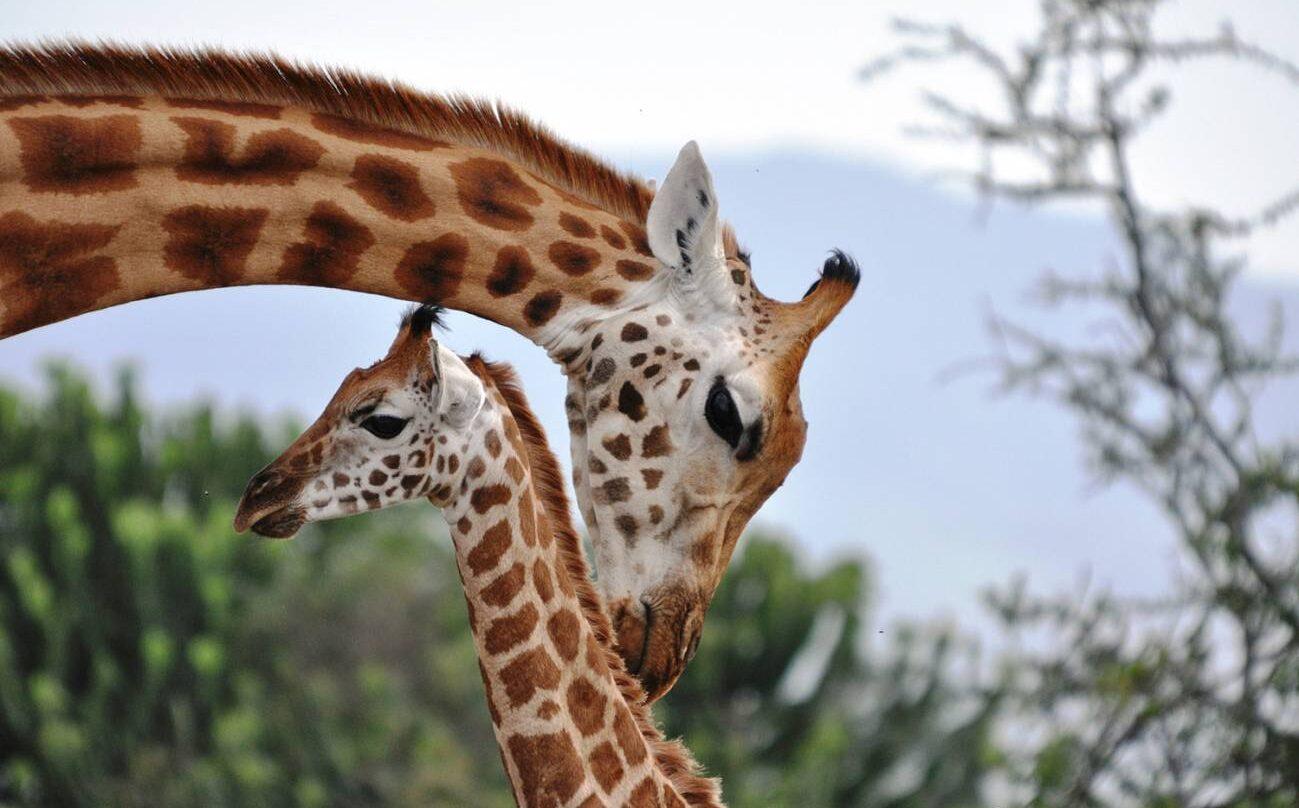 Una jirafa con su cría.