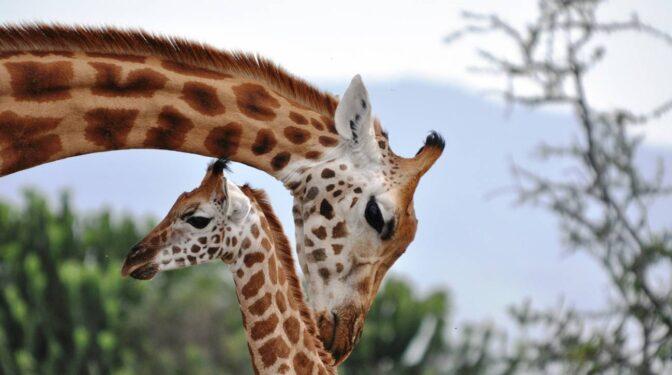 La compleja vida de las jirafas en la que las 'abuelas' son el pilar social