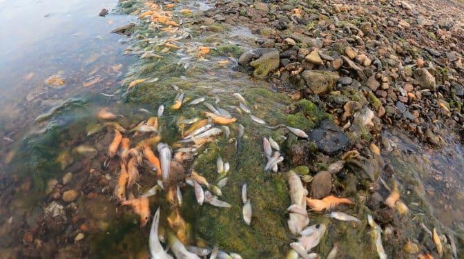 Las playas del Mar Menor se llenan, de nuevo, de miles de peces muertos