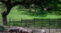 El ántrax afecta también a cerdos y suma en total 17 casos en Extremadura