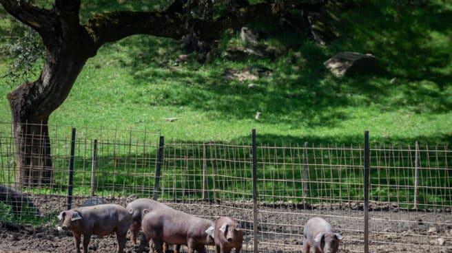 Imagen de archivo de cerdos ibéricos en Extremadura.