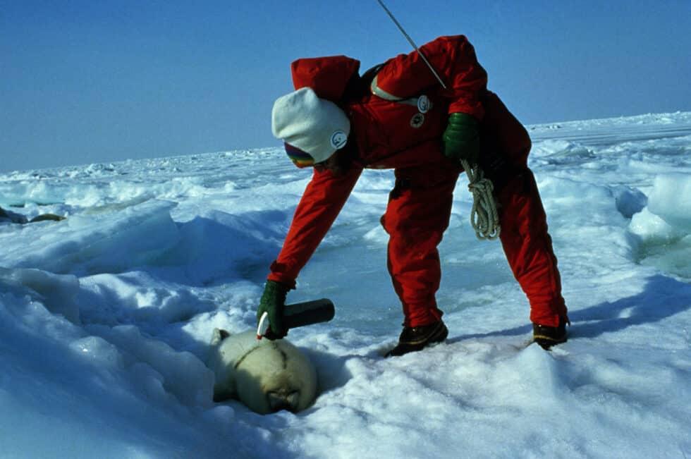 un activista pinta la piel de una foca con un spray
