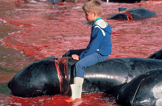 Niño sentado encima de una ballena muerta en el mar de las Islas Feroe