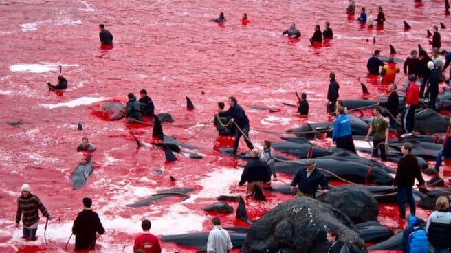 Miles de ballenas muertas en el mar del Atlántico norte, ensangrentado