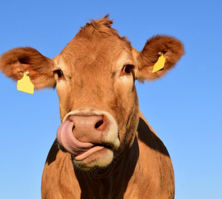 Enseñan a las vacas a ir al baño para reducir la contaminación por amoníaco