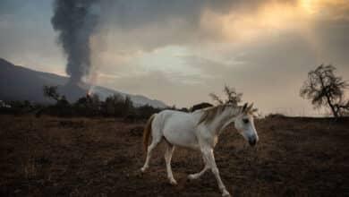 Empresas de La Palma alimentan con drones a los animales aislados por la lava en Todoque