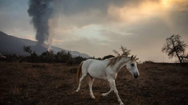 Un caballo, en una finca cercana al volcán de La Palma.