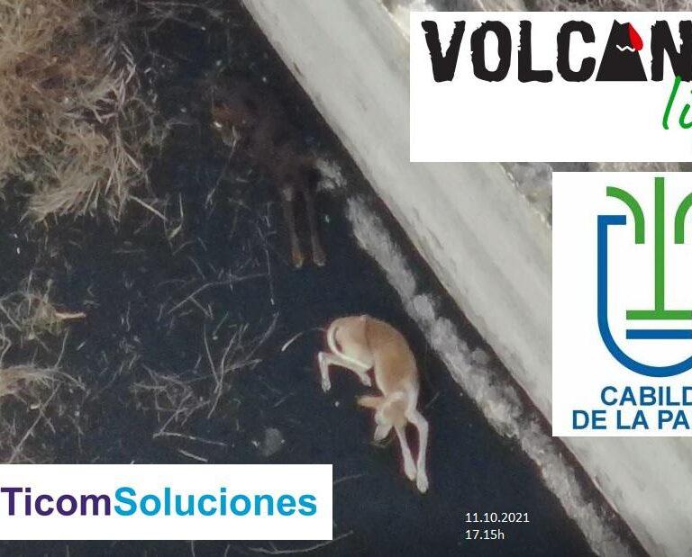 ¿Dónde están los podencos?: así está el rescate a los perros atrapados por la lava en La Palma