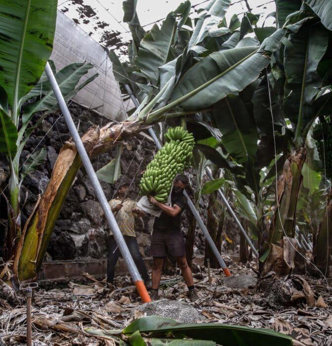Desaladoras portátiles y sopladores: luchando contra una catástrofe platanera