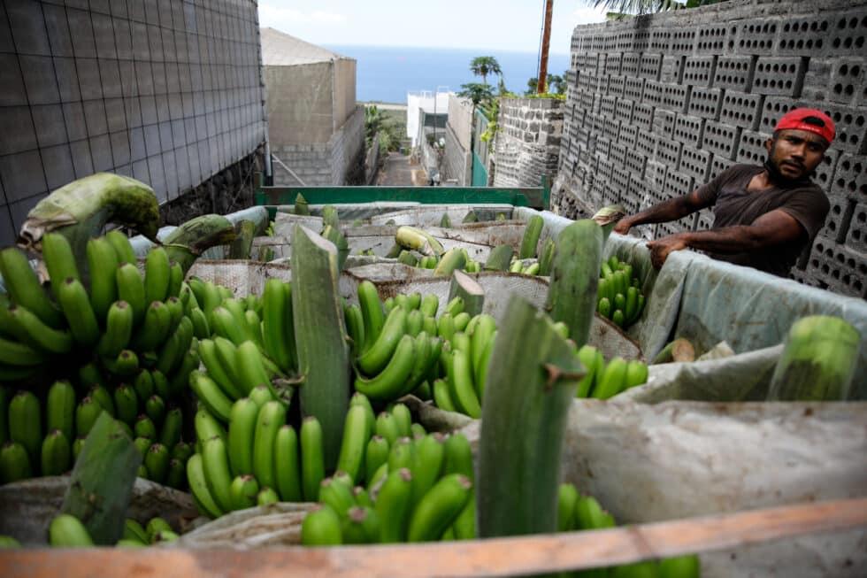 Varias piñas de plátanos en un camión, después de ser recogidas por los agricultores en La Palma
