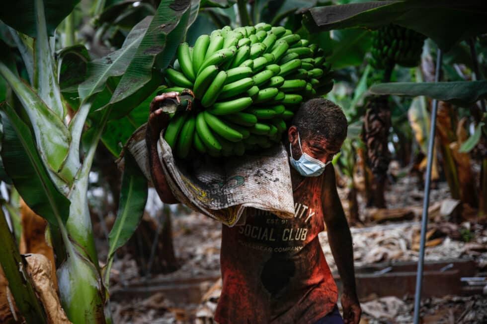 Un agricultor lleno de ceniza recoge una piña de plátanos
